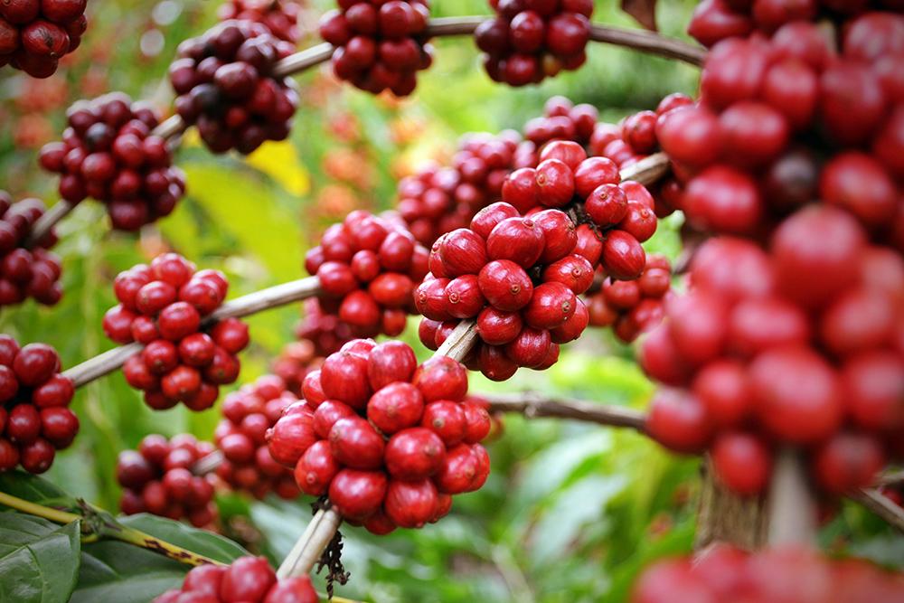 Schisandra ingrediente activo puro omega 3