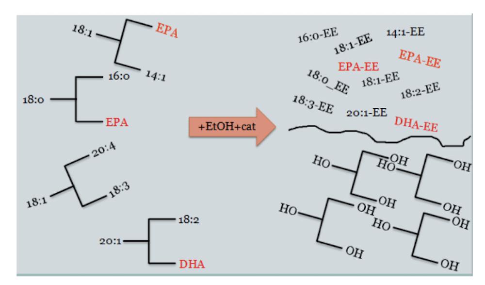 concentrar los omega-3, los EE se someten de nuevo a destilación molecular para separar los ácidos grasos de cadena corta y media, logrando así enriquecer la fracción de EE en DHA y EPA