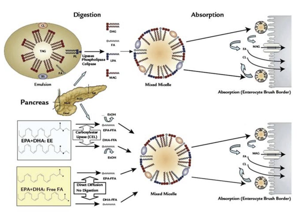 Proceso de digestión y absorción de Omega-3 en la mucosa del intestino delgado