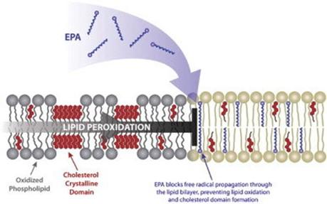 Omega-3 en la Membrana Plasmática